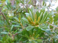 Wax myrtle leaves also make a great substitute for bay leaves.(Daniel Cunningham/Special Contributor)
