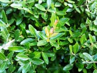 Yaupon Holly is a caffeinated plant native to the U.S. and can be used as a tea.(Daniel Cunningham/Special Contributor)