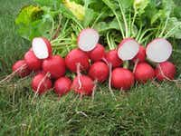Radish Roxanne from All American Selections (All American Selections)