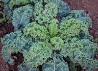 Winterbor Kale from Territorial Seed Company(National Garden Bureau/National Garden Bureau)
