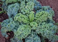 Winterbor Kale from Territorial Seed Company (National Garden Bureau/National Garden Bureau)