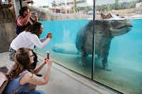 People take photos of Adhama during the grand opening of the Dallas Zoo's hippo exhibit in Dallas on Friday, April 28, 2017.(Vernon Bryant/Staff Photographer)