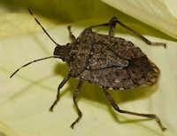 The brown marmorated stinkbug is a pest that needs controls. (Howard Garrett/Special Contributor)