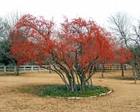 Possumhaw holly is heat- and drought-tolerant, and it can be trained into the shape of a small tree.
