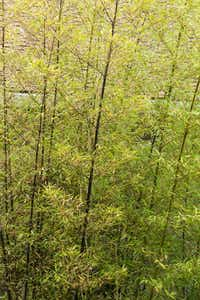 Black bamboo from Monrovia(Doreen Wynja/Monrovia)