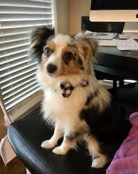 Wylie the Toy Aussie(Marshall Grain Co.)