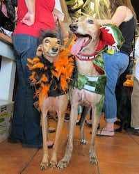 """<p><span style=""""font-size: 1em; background-color: rgb(255, 255, 255);"""">Serafina and Red</span><span style=""""font-size: 1em; background-color: transparent;"""">were among the contenders at the annual Howl-O-Ween contest at the Three Dog Bakery in Plano. Top of page:</span><span style=""""font-size: 1em; background-color: transparent;"""">Braylee won for cutest costume.</span></p>(2013 File Photo/Tatia Woldt)"""