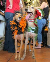 """<p><span style=""""font-size: 1em; background-color: rgb(255, 255, 255);"""">Serafina and Red&nbsp;</span><span style=""""font-size: 1em; background-color: transparent;"""">were among the contenders at the annual Howl-O-Ween contest at the Three Dog Bakery in Plano. Top of page:&nbsp;</span><span style=""""font-size: 1em; background-color: transparent;"""">Braylee won for cutest costume.</span></p>(2013 File Photo/Tatia Woldt)"""
