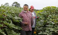 Roy and Sofia Martinez, owners of Rae Lili Farms in Cooper, walk among the okra plants.(Louis DeLuca/Staff Photographer)