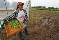 Sofia Martinez holds a box of Mexican sour gherkins as she surveys the scene at the Rae Lili Farm.(Louis DeLuca/Staff Photographer)