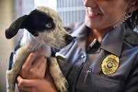 "<p><span style=""font-size: 1em; background-color: transparent;"">Officer Chelsea Stachyra held one of six puppies brought to the Lake Dallas Animal Shelter after they were dumped. The shelter will celebrate its 10th anniversary Saturday.</span></p>(2014 File Photo/<p><span style=""font-size: 1em; background-color: transparent;"">David Minton</span></p>)"