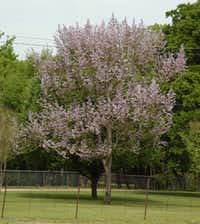 The royal paulownia or empress tree is a fast-growing shade tree.(Howard Garrett/Special Contributor)