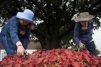 Master gardeners Ellen Schwab (left) and Sherrie Walker snip the flowers off of coleus plants at the garden.(Daniel Carde/Staff Photographer)
