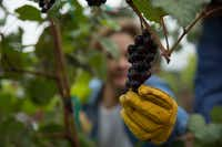 Master gardener Catherine Dean pulls on a Lomanto grape at the vineyard.(Daniel Carde/Staff Photographer)