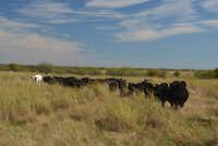 The tall grass around his herd of Black Angus heifer tells rancher Jon Taggart the pasture's healthy. The lone longhorn helps Taggart when he needs to lead the herd to a different location.(Alfonso Cevola/Special Contributor)
