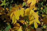 Mexican buckeye tree(Howard Garrett/Special Contributor)