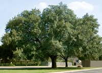 A large live oak can spread up to 60 feet wide.