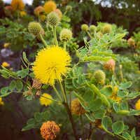 Goldenball leadtree(Daniel Cunningham/Special Contributor)