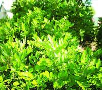 Texas mountain laurel(Gabe Saldana/Texas A&M Agrilife)