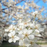 Mexican plum trees have showy white blossoms.(Daniel Cunningham/Special Contributor)