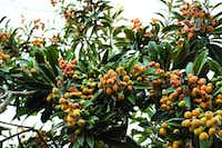 The loquat is an exotic fruit tree that's well adapted to North Texas.(Gabe Saldana/Texas A&M Agrilife)