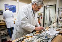 SMU paleontologists Louis Jacobs (left) and Michael Polcyn prepare Angolan mosasaurs, or extinct marine reptiles, for an exhibit at the Smithsonian.(Ashley Landis/Staff Photographer)