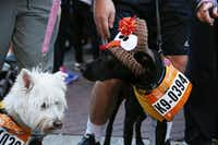 Dogs can run too in the annual Dallas YMCA Turkey Trot. (Allison Slomowitz/Special Contributor)