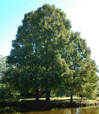 Montezuma cypress tree in Houston(Howard Garrett/Special Contributor)