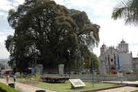 El Arbol del Tule Montezuma cypress tree in Oaxaca, Mexico.(Howard Garrett/Special Contributor)