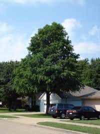 Montezuma cypress tree in Midlothian(Howard Garrett/Special Contributor)