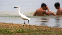 Swimmers don't bother a little egret looking for food along the shores of Lake Grapevine in Oak Grove Park.(Ron Baselice/Staff Photographer)