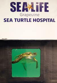Frio, a green sea turtle found with numerous ailments in Corpus Christi, is recuperating at the Sea Turtle Hospital and Rescue Center at the Sea Life Grapevine aquarium.(Vernon Bryant/Staff Photographer)