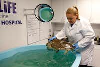 Krista Huebner, senior aquarist at Sea Life Grapevine, removes Frio from her holding tank for a weigh-in at the aquarium's new Sea Turtle Hospital and Rescue Center. <br>(Vernon Bryant/Staff Photographer)