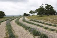 Lavender fields at Texas Lavender Hills, Blanco, Texas(Ann McCormick/Special Contributor)
