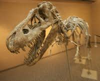 A 12-foot tall, 23-foot long, 75% complete Tyrannosaurus bataar, the slightly smaller Asian counterpart to the legendary North American T-Rex is displayed in New York by Heritage Galleries.(Nathan Hunsinger/File Photo)