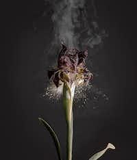 Ori Gersht, <i>Iris Atropurpurea DO1</i>, 2018, archival pigment print(Ori Gersht/Talley Dunn Gallery)