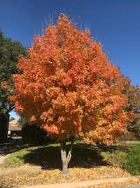 Bigtooth maple, which has nice color in the fall, is one of the cleanest trees, especially if you are lucky enough to get a male and have no seeds. (Howard Garrett/Special Contributor)