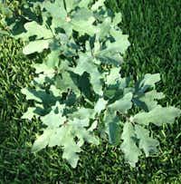 Lacey oak tree(Howard Garrett/Special Contributor)