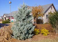 Arizona Cypress makes a good living Christmas tree in Texas.(Daniel Cunningham/Special Contributor)