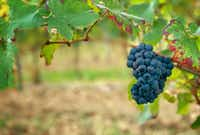 Pinot noir grapes ready for harvest at the Ferrari estate in Trentino, Italy.(michael hiller/michael hiller)