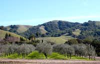 The certified organic McEvoy Ranch grows several varieties of Italian olives, such as Coratina, Frantoio and Leccino.(McEvoy Ranch/Courtesy)