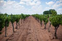 Grapes on the vine in the Texas High Plains (Visit Lubbock)