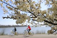 People ride bicycles past blooming cherry blossoms at White Rock Lake in Dallas, Tuesday, March 13.(Jae S. Lee/Staff Photographer)