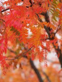 Fall foliage outside the Galleria in Dallas on Tuesday, Oct. 30.(Rose Baca/Staff Photographer)