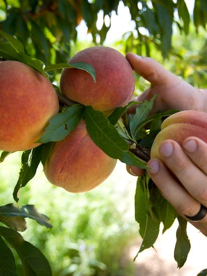 Want To Plant Fruit Trees Here S Your Explainer On Chill Hours And Pollenizers