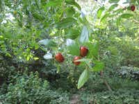 Jujube is a shade tree that produces edible fruit.(Howard Garrett/Special Contributor)