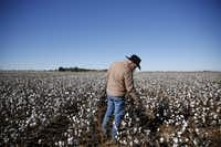 Matt Farmer reaches down to check some of his cotton in Lynn County, south of Lubbock.(Rose Baca/Staff Photographer)