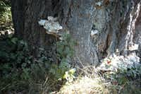 Tree ears (or shelf fungi) indicating trouble in a pecan tree.(Howard Garrett/Special Contributor)