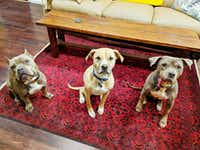 From left, Hippo, Wulo and Baboy, the three dogs that share Deborah Rodriguez's East Dallas home.(Deborah Rodriguez)