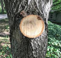 Example of a good pruning cut on a tree. (Howard Garrett/Special Contributor)